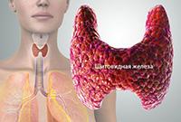 Щитовидка человека