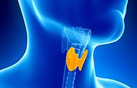 3д рисунок щитовидной железы