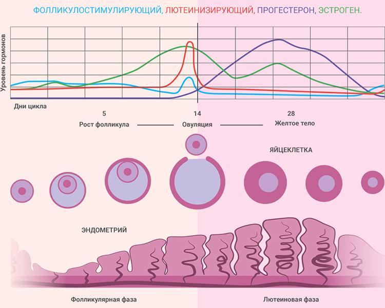 эстроген в организме женщины