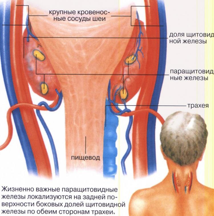 как располагается орган щитовидки