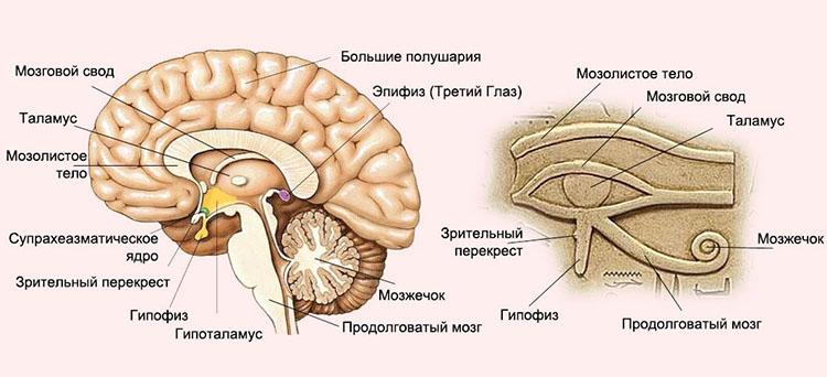 эпифиз в мозгу