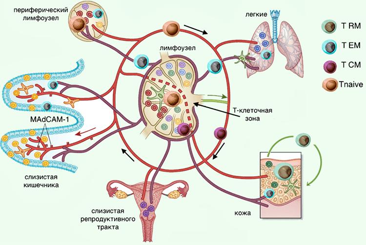 как работают т лимфоциты