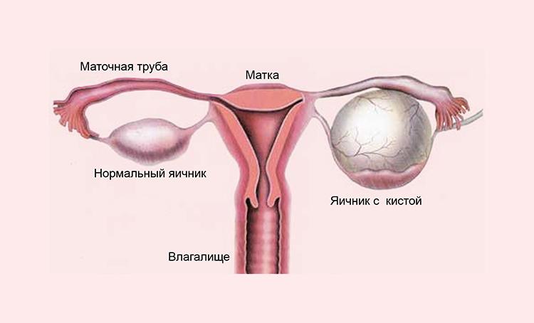 внутренние половые органы женщин