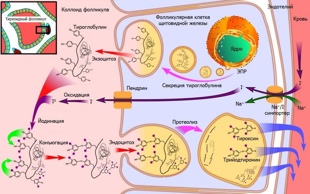 Гормоны щитовидной железы - выработка