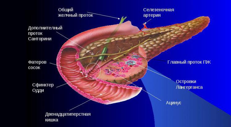 Анатомия поджелудочной