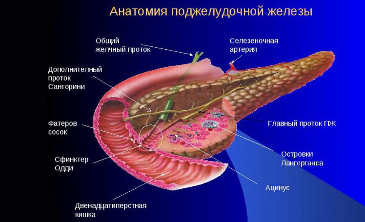 Строение железы поджелудочной