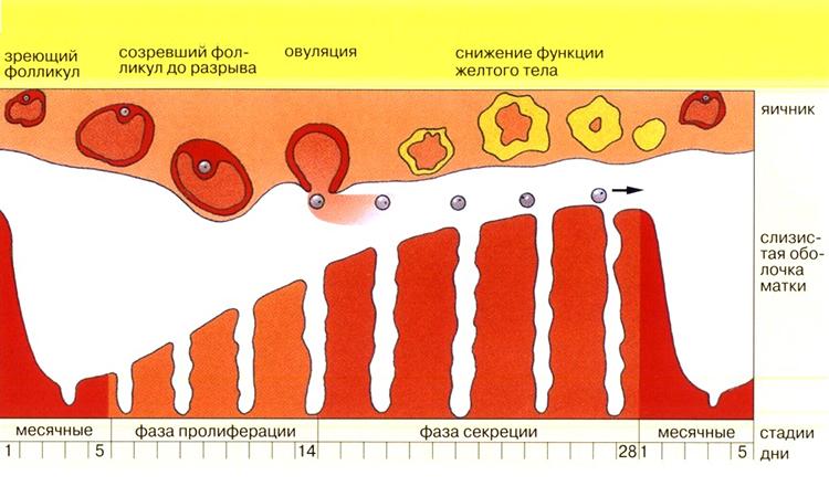 Менструальный цикл - схема