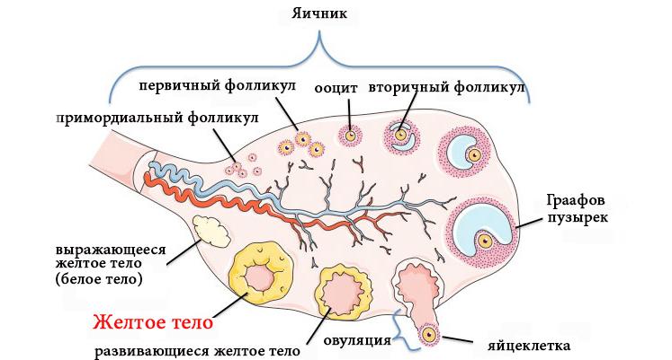 образование желтого тела