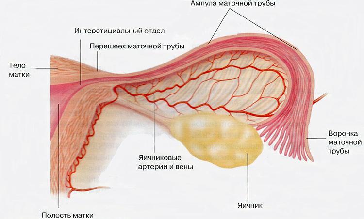 яичник женщины строение