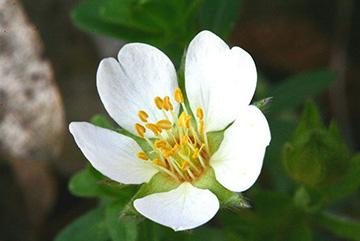 цветок лапчатки