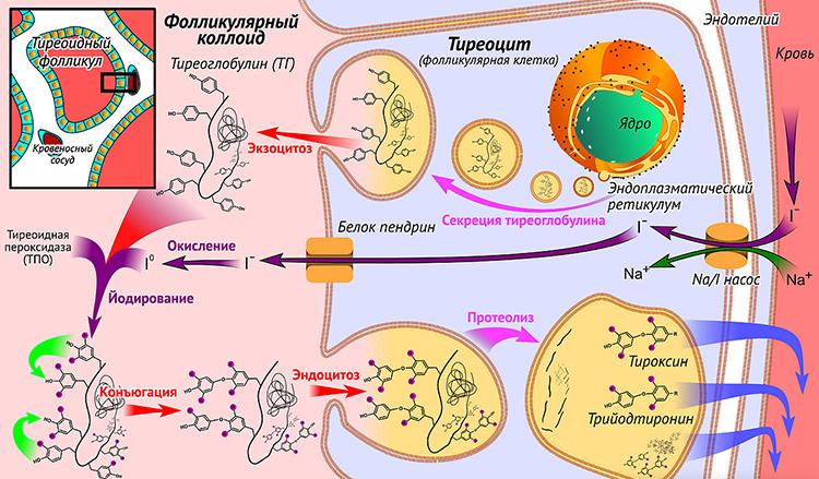 тиреоидные гормоны - продуцирование