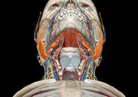 анатомия слюнных желез