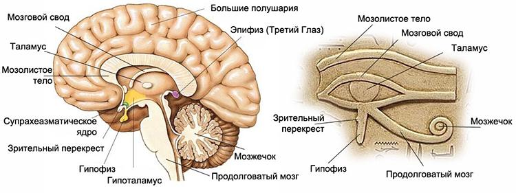органы в мозге