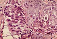 гистология груди