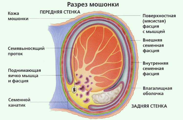 яички у мужчин