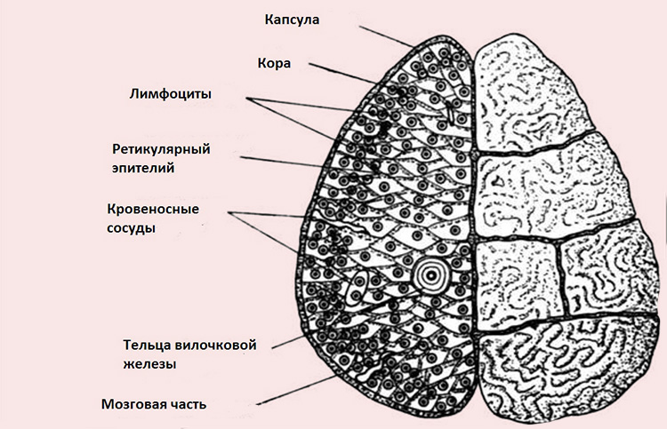 вилочковая железа - структура